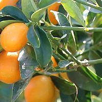 Kumquat Marmelad